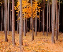 Hybrid Poplar Tree Farm mural