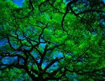 Oak Canopy mural