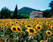 Field Of Sunflowers Tuscany Italy mural