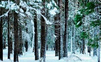 Yosemite Trees Wintery Grip mural