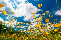 Field Of Yellow Flowers mural