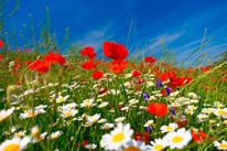 Colorful Meadow With Flowers mural