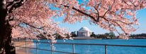 Jefferson Memorial And Spring Cherry Blossoms Washington DC mural