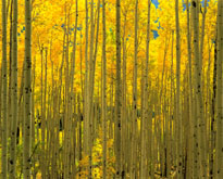 Aspens White River National Forest CO mural