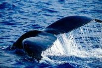 Humpback Whale Tale mural