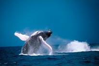 Breaching Humpback Whale mural