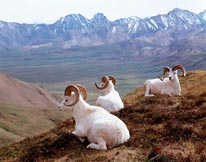 Dall Sheep mural