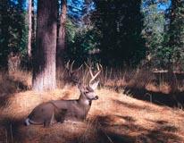 Mule Deer mural
