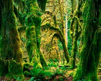 Moss Covered Big Leaf Maples Hoh Rain Forest mural