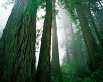 Redwoods in Fog mural