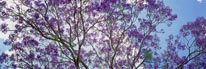 Jacaranda Tree in Bloom mural