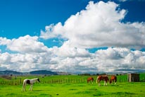 Horses  Farmland New-Zealand mural