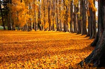 Autumn Poplar Trees mural
