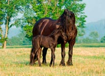 Friesian Mare With Foal mural