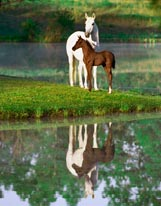 Arabian Mare With Foal mural