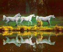 Arabian Mare Reflection mural