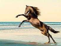 Rearing Morgan Horse Stallion mural
