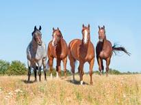 Quarter Horse Ladies mural