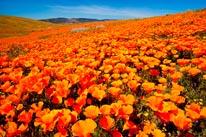 California Poppy Field mural