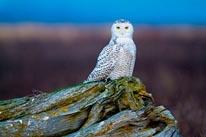 Snowy Owl Bubo Scandiacus mural