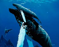 Mother Humpback With Baby mural