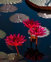 Tropical night flowering water lilies at Longwood Gardens mural