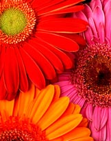 Colorful Gerbera Daisies mural