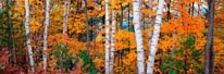 Halfmoon Lake Birches Upper Peninsula Michigan mural