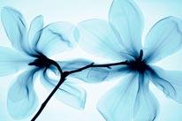 Magnolia-Blue mural