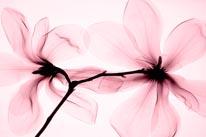 Magnolia-Pink mural
