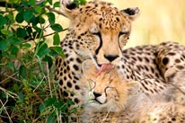 Cheetah Mother and Cub mural