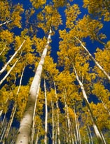 Gold Aspen  Blue Sky mural